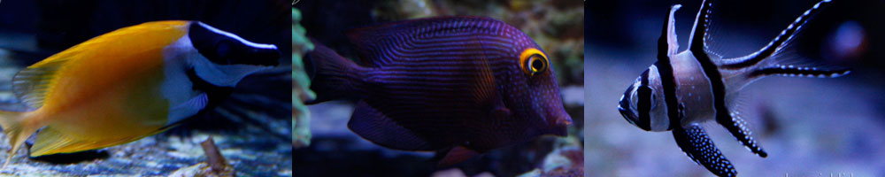 All about the Frontosa - Lake Tanganyika Cichlids - Québec