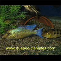 Fossochromis Rostratus (Otter Point)